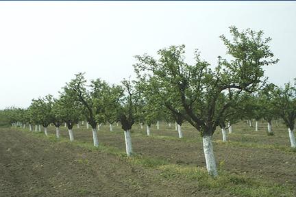 Засаждане на овошки и овощни дръвчета, Доставка и съхранение на овощен посадъчния материал,Продавам овощни дръвчета - вишна облачинска